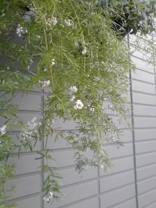 アスパラスプレンゲリーの白い花