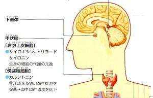 脳下垂体と甲状腺